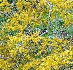 黄金色の花を咲かせるソウシジュ=名護市二見