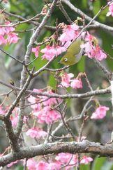 末吉公園(那覇市) 朝の末吉公園。市民がウオーキングをする傍ら、「チュンチュン」とさえずりながらメジロが1本のカンヒザクラの木に止まった。花の蜜を吸いながら枝から枝へ飛び移り、5分ほどでいなくなってしまった=29日、那覇市首里(我喜屋あかね撮影)