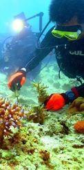 「チーム美らサンゴ」のサンゴ植え付けに参加するダイバー=5月、恩納村の万座ビーチ湾内
