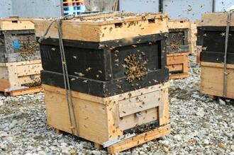 巣箱から勢いよく飛び立つミツバチ=4日午前、北海道美深町