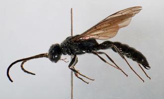 沖縄市の嶽山原で発見された新種のアリバチ「クボミツヤアリバチ」(同市立郷土博物館提供)