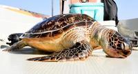 ウミガメの死骸、辺野古沖で発見 4~5歳か