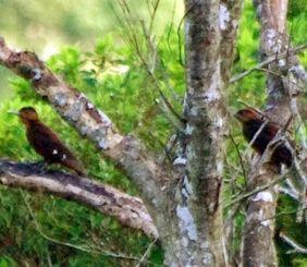 名護市内で繁殖が確認されたノグチゲラの雌の成鳥(左)と幼鳥=7日午前7時10分ごろ、名護市源河(渡久地豊さん提供)