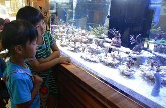 静岡から「里帰り」した養殖サンゴに見入る子どもたち=石垣市平得、わくわくサンゴ石垣島センター