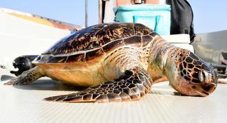 抗議船上に引き上げられたアオウミガメの死骸=19日、名護市辺野古沖