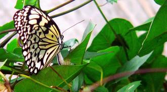 幼虫の食草「ホウライカガミ」の葉の裏に産卵するオオゴマダラ=市二見区