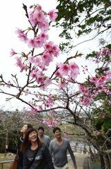 八重瀬公園 石段沿いにサクラ並木が続く八重瀬公園。観光客も一足早い花見を楽しむ=30日、八重瀬公園(金城健太撮影)