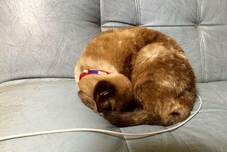 「充電中」2016年1月11日 いつもソファの上で丸くなって、過ごしていました。 元保護猫・アランです。(今は名護で新しい家庭猫として、もらわれて行きました)