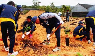 コーヒーの苗木をテスト移植する沖縄SVの選手ら=1日、名護市許田