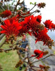 真っ赤な花が咲き始めたデイゴ=4日午後、南城市佐敷新開(長崎健一撮影)