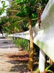 道路の境目から発芽し実も付けている「ど根性パパイア」=東村有銘
