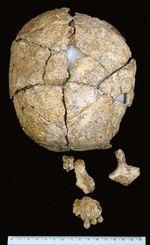 琉大などが復元を目指す保存状態の良い頭骨(県立埋蔵文化財センター提供)
