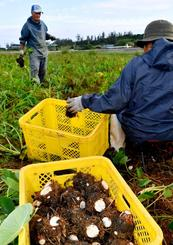 正月用に出荷する田芋の収穫に追われる農家=21日、金武町金武(田嶋正雄撮影)