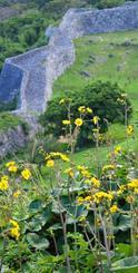 今帰仁城跡内に咲くツワブキ