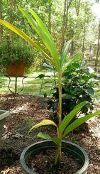 自宅の裏庭で初夏に葉っぱを出し、その根強い生命力を発揮しているムーチーガーサ