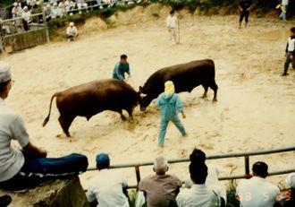 初めて撮った闘牛写真。牛が小さい(笑)