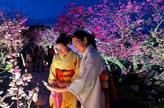 今年で8回目になる今帰仁グスクの桜まつり。参道沿いのライトアップは8年の累計が30万人を突破するほど人気=29日、今帰仁城跡(伊藤桃子撮影)