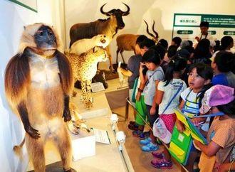 動物の剥製の毛並みや表情に見入る児童ら=17日、那覇市おもろまちの県立博物館・美術館(松田興平撮影)