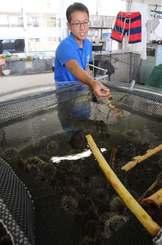 陸上養殖を目指し、シラヒゲウニを飼う水槽。浮かんでいるのは餌となるバナナの枝。葉は食べ尽くした後=19日、糸満市の沖縄水産高校