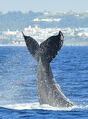 (資料写真)水面から尾びれを高く上げるザトウクジラ=2020年2月12日午前、伊江島沖(金城健太撮影)