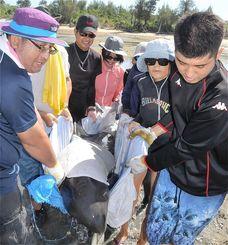 名蔵湾に迷い込み、干潮で座礁した小型クジラを沖合へ運ぶ市民ら=17日、石垣市・名蔵湾