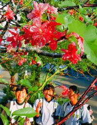 季節外れのサクラ開花 沖縄・首里の民家で