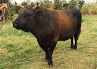 沖縄全島一・邁進龍の戦いに注目 「有望牛選抜闘牛」3月4日、20頭参加