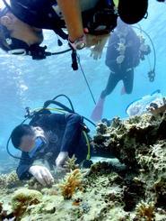 スティックに付いたサンゴの苗を海底の岩場に差し込むダイバー=19日、恩納村万座ビーチの湾内(下地広也撮影)