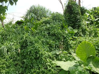 木々にはって繁茂しているツルヒヨドリ