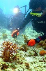 サンゴの苗を岩場に固定するダイバー=16日、恩納村の万座ビーチ湾内(伊藤桃子撮影)