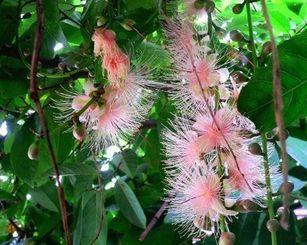 時季外れの昼間に咲いたサガリバナ=名護市・「茶話乃屋」