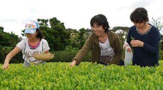 新茶を被災地に届けようと、茶摘みをするボランティア=2015年3月29日、国頭村奧(岡留芙美さん提供)