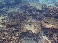 国内最大のサンゴ礁7割死滅 沖縄「石西礁湖」91%が白化