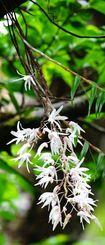 森の中でかれんな白い花を咲かせるオキナワセッコク=6日、国頭村(田嶋正雄撮影)