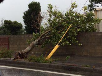 強風で倒れた街路樹=10日午前9時半、八重瀬町富盛