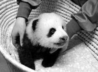 [きょうナニある?]/話題/目見えた? 左右見回す/上野の赤ちゃんパンダ