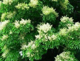 雪のような白い花を咲かせるヤンバルアワブキ=20日、今帰仁村平敷