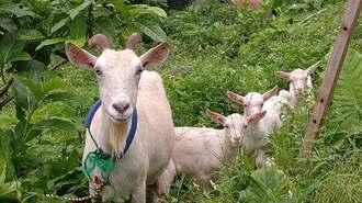 5度目の三つ子を出産した母ヤギ(左)と子ヤギ=7日、石垣島山中の飼育地(池城安廣さん提供)
