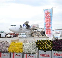 ANAカーゴの臨時便で羽田へ輸送されたキク。関東の市場を中心に送られる=20日、那覇空港