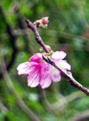 開花が観測されたヒカンザクラの標本木=10日、那覇市・末吉公園(沖縄気象台提供)