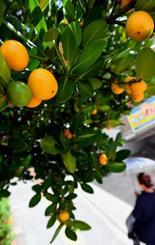 街路樹のフクギの実が黄色く色づき、夏の終わりを告げる=6日午後2時、那覇市小禄(田嶋正雄撮影)