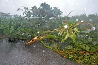 強風で折れ、道路に横たわる木=8日午前9時50分ごろ、南城市・知念知名