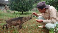 尻尾ふりふり、空腹イノシシおねだり上手 沖縄・大宜味村の集落ぶらり