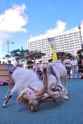 ピージャーオーラサイで、角を絡めて闘うヤギ=10日、那覇市久茂地・パレットくもじ前広場