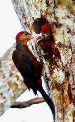 巣穴から顔を出したひなに餌を与えるノグチゲラの親鳥=8日午前、東村高江(田嶋正雄撮影)