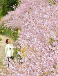 沖縄に春の訪れ、きょう啓蟄 名護でフブキバナ満開