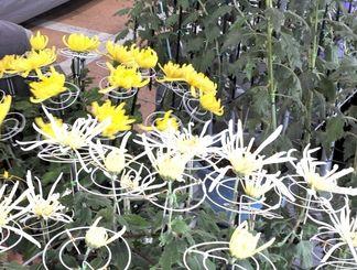 浦添市城間のメイクマン浦添本店で開催される全沖縄菊花展