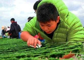 網を傷つけないよう気をつけつつ、アーサをはさみで切って収穫する子どもたち=9日、北中城村美崎の海岸