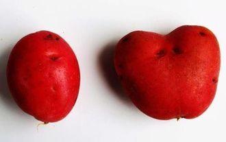自宅で収穫したハート形の紅じゃが(右)
