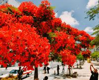 咲き誇る「赤」 青空に映える 那覇市のホウオウボク見頃